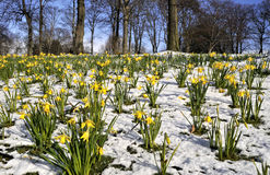 Field of Spring Daffodill. Field of Spring Yellow Daffodill in Melting Snow Royalty Free Stock Images