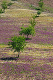 Field of Spring flowers. Field with lilac spring flowers and trees, Near Ardales, Malaga Province, Andalucia, Spain Royalty Free Stock Photography