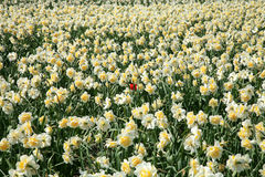 Field of spring flowers. Royalty Free Stock Photography