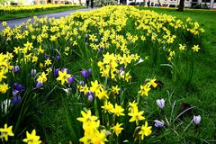 Field of Spring Flowers Royalty Free Stock Image