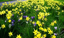 Field of Spring Flowers Royalty Free Stock Images