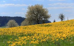 Field of spring flowers dandelions Stock Images
