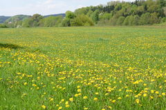 Field with spring flowers. Many yellow spring flowers on a field Stock Photography