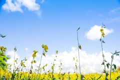 Stock Photo - Field with yellow dandelions and blue sky Stock Photography