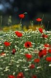 A field of spring flowers (shallow depth of field) Stock Image