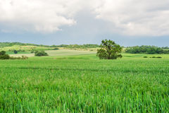 Field of spring grass and forest Royalty Free Stock Photo