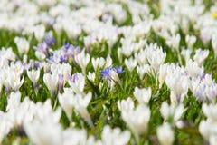 Field of spring pasqueflower stock photo