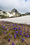 Field of spring time crocuses and Haramiya peak in the Rila Mountains, Bulgaria Stock Images