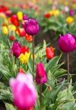 Field of Spring Tulips Stock Photos