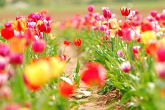 Field of Spring Tulips. A variety of different colored tulips in a field Stock Image
