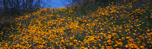 Field of spring wildflowers. This is a field of spring wildflowers. It consists of the Mexican Goldpoppy (Eschscholtzia Mexicana) and Arizona Lupine (Lupinus Stock Photos
