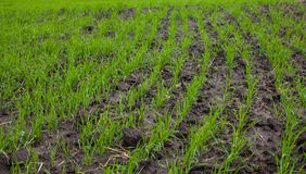 Field with sprouted winter crops in a row, low wheat Stock Images