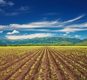 Field with sprouting crops. View of field with sprouting crops and blue sky Stock Image