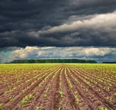 Field with sprouting crops. View of field with sprouting crops and storm clouds Royalty Free Stock Images
