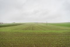 Field with sprouting wheat. Green Field with sprouting wheat and power lines stock images