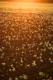 Field sprouts during sunset, sunset Royalty Free Stock Image