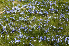 Field of Squill Flowers Royalty Free Stock Image
