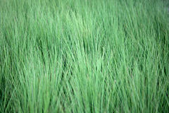Field of a steppe feather grass Stock Photography