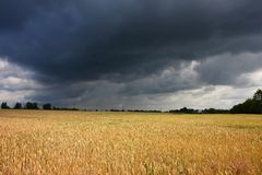 Field before storm. Wheat field before storm in summer Royalty Free Stock Photos