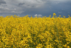 Field before the storm. Royalty Free Stock Image