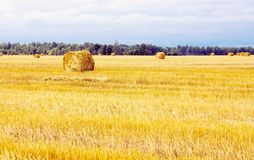 Field with straw sheaves after a crop harvest Stock Photo