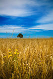 Field of straw. Straw field with yellow flowers in the foreground, a tree in the background, blue sky Stock Photo