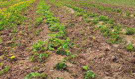 Field of strawberries. Stock Photography