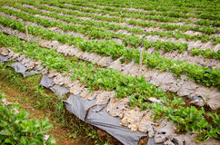 Field of the strawberry patch nestled black film Stock Photo