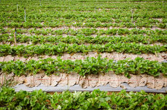 Field of the strawberry patch nestled black film Stock Images