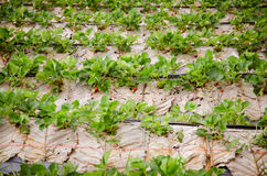 Field of the strawberry patch nestled black film Stock Photography