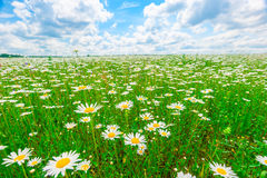 Field strewn with daisies Stock Images