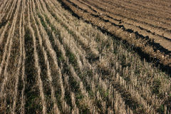 Field of stubbles Stock Photography