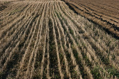 Field of stubbles Stock Image