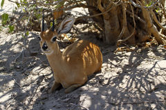 Field Study of a Steenbok Antelope Stock Photo
