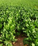 Field with sugar beet. As crop stock photography