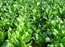 Field with sugar beet Royalty Free Stock Images