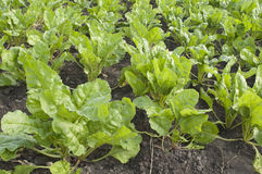 Field with sugar-beet Royalty Free Stock Photo