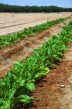 Field, sugar, beet Royalty Free Stock Image