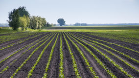Field of sugar beet Royalty Free Stock Image