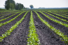 Field of sugar beet Stock Photography