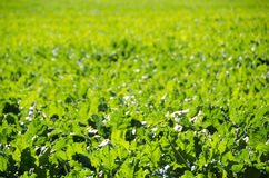 A field of sugar beet plants Stock Photo
