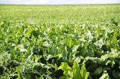 A field of sugar beet plants Royalty Free Stock Photos
