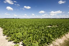 Sugar beet field. A field of sugar beet in the summer, photographed from the corner. the summer landscape of agriculture activity Stock Images