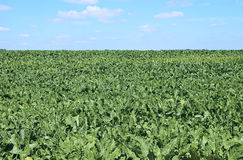 Field of sugar beet Stock Images
