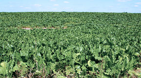 Field of sugar beet Stock Photo