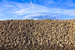 Field of sugar beets Stock Photos