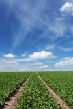 Field with sugar beets Stock Photo