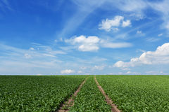 Field with sugar beets Stock Image