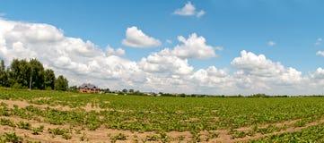 Field of sugar beets Stock Photo