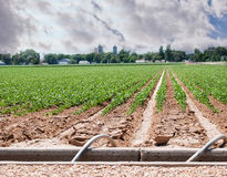 Field of Sugar Beets Near a small Town Stock Photo
